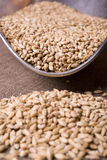 Pale Malt Spilling. Pale malt barley, an ingredient for beer Stock Photography
