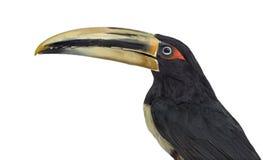 Pale Mandibled Aracari ha isolato su bianco fotografia stock libera da diritti