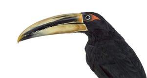 Pale Mandibled Aracari ha isolato su bianco fotografia stock