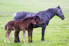 Pale Mare and two brown foal Stock Images