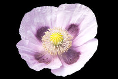 Pale mauve open poppy Stock Photography