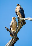 Pale morph Tawny Eagles (Aquila rapax). Sitting on a dead tree Stock Photo