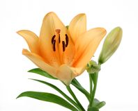 Pale Orange Day Lily. The bloom of a pale orange day lily isolated on a white background Stock Photo