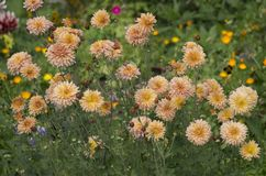 Pale orange flowers texture the finds heritage. Pale orange flowers texture the finds heritage Stock Image