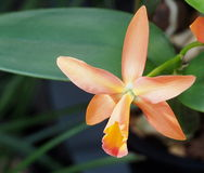 Pale orange Orchid. With red centre growing in greenhouse Stock Photos