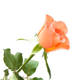Pale orange rose Royalty Free Stock Images