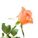 Pale orange rose. Isolated on white background royalty free stock images