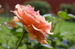 Pale orange rose in the garden in sunlight in bloom, beautiful flowering plant royalty free stock images