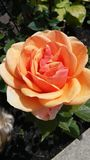 Pale orange rose. With green foliage in garden Royalty Free Stock Photo