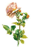 Pale orange rose Stock Photos