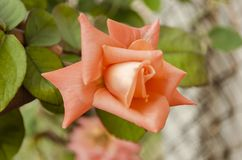 Pale Orange Tea Rose Flowers de floraison images stock