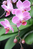 Pale orchid Royalty Free Stock Photo