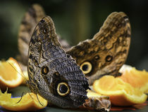 Pale Owl Butterflies eating fruit Stock Image