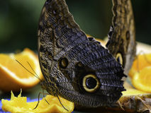 Pale Owl Butterflies eating fruit Stock Photos