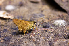 Pale palm dart moth resting Royalty Free Stock Images