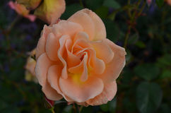 Pale Peach Flowering Rose Blossom in een Tuin royalty-vrije stock fotografie