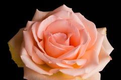 Pale Peach Rose Royaltyfri Fotografi