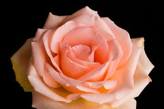 Pale Peach Rose Royalty Free Stock Photography