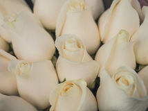 Pale Peach Roses Stock Photography