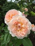 Pale peach roses. With many petals tightly packed into each Royalty Free Stock Photos