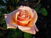 Pale Peach Solitary Beauty stock image