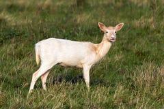 Pale Phase Fallow Deer Doe - dama del Dama, Warwickshire, Inglaterra foto de archivo
