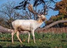 Fallow Deer Buck - Dama dama standing in a sunny parkland. stock image