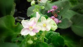 Pale pink African Violet. Flowers in the green house Stock Photo