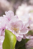 Pale pink apple blossom Stock Photo