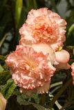 Pale pink begonia flowers Royalty Free Stock Photography