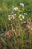 Pale pink blooming cuckoo flower plants Stock Photo