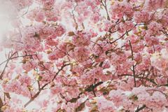 Pale pink blossoms Stock Photo