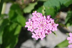 Pale pink candytuft flower in rock garden stock images