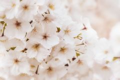 Pale pink cherry blossom background. Beautiful pale pink cherry blossom background. Romantic soft focus and dreamy effect, with selective focus on central flower stock photo