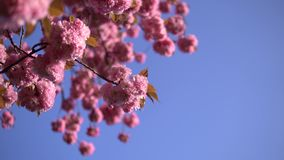 Pale pink cherry blossom flowers blooming on the blue sky background. stock video footage