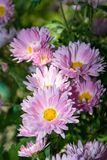 Pale pink chrysanthemum royalty free stock image