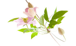 Pale pink clematis,. Buds and leaves isolated on white Stock Photos