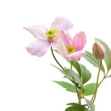 Pale pink clematis,. Buds and leaves isolated on white Royalty Free Stock Photography