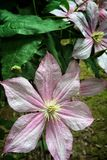 Pale pink clematis Royalty Free Stock Photography