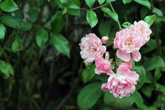 Pale Pink Climbing Roses. Closeup of Pale Pink Climbing Roses Royalty Free Stock Images