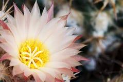 Pale pink Coryphantha. Cactus flower stock image