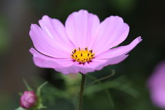 Pale pink Cosmos Stock Images