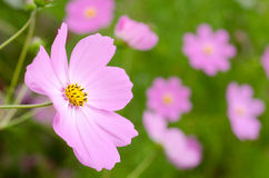 Pale pink cosmos Royalty Free Stock Photos