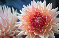 Pale Pink Dahlia Royalty Free Stock Photos