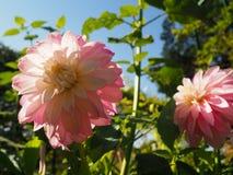 Pale Pink Dahlia en Monet Garden Imagen de archivo libre de regalías