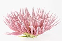 Pale pink dahlia flower isolated on white background Stock Photo