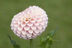 Pale Pink dahlia flower Royalty Free Stock Photo
