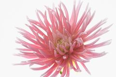 Pale pink dahlia flower isolated on white background Stock Images
