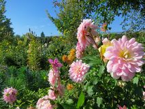 Pale Pink Dahlias blooming in Giverny France. Pale Pink Dahlias blooming in Monet gardens , Giverny France Stock Images