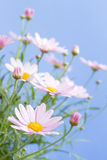Pale pink daisies Stock Photos